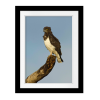 Black-Chested Snake Eagle   Rectangle print with mat