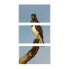 Black-Chested Snake Eagle   3-Piece Rectangle Canvas