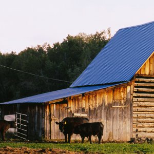 Cattle in front of a barn