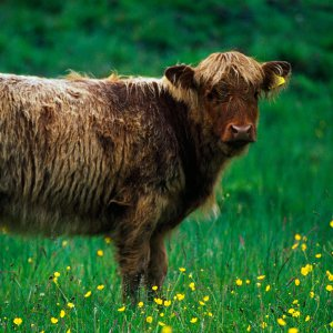 Highland cow in wildflower meadow