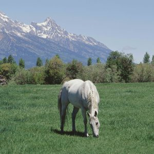 Horses and Teton Range