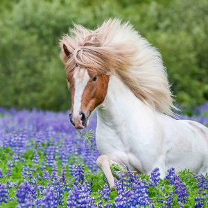 Trot Through Lupines