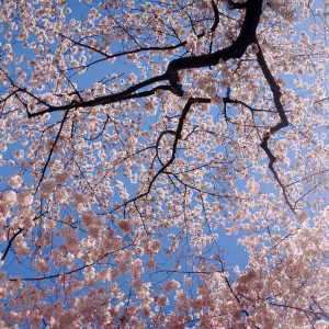 Low Angle Cherry Blossoms