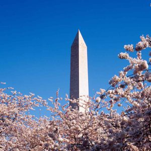 Washington Monument Cherry Tree