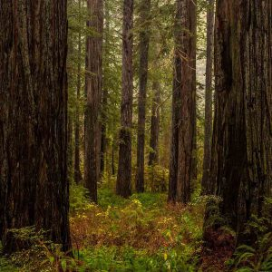 Redwoods Gather