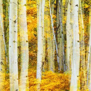 Aspen Grove in Yellow