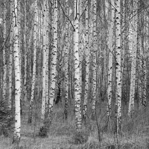Monochrome Birch Trees