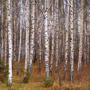 Silver Birch in Sweden