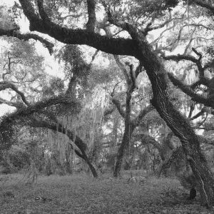 Oak Trees In A Forest