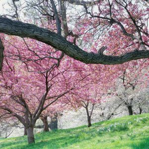 Grand Cherry Blossom Tree