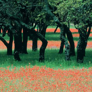 Indian Paintbrushes And Scattered Oaks