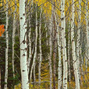 Aspen Trees In Grand Teton