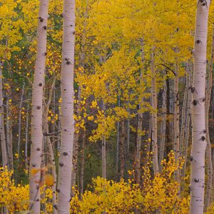 Aspen Trees In Forest, Colorado II