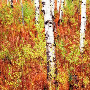 Aspen Trees In Grand Teton II