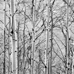 Aspen Trees in Forest