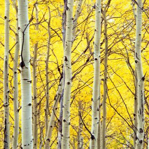 Aspen Trees in Forest I