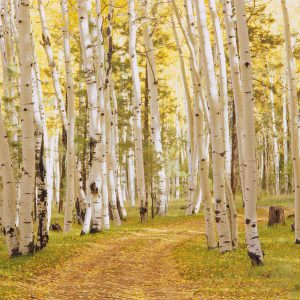 Aspen Trees in Forest II