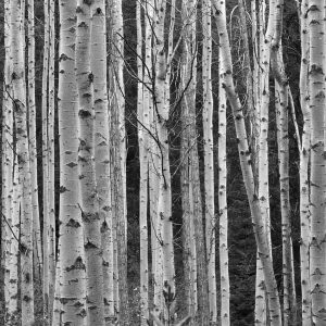 Black and White Aspen Trees