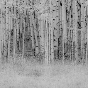 Black and White Birch
