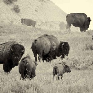 Herd On The Move