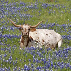 Napping in Bluebonnets