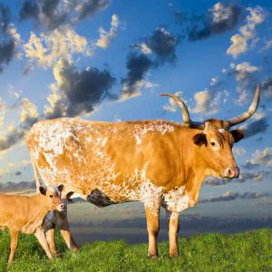 Longhorn And Calf
