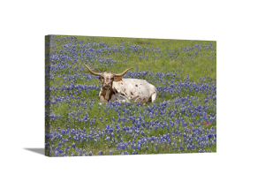 Napping in Bluebonnets Canvas