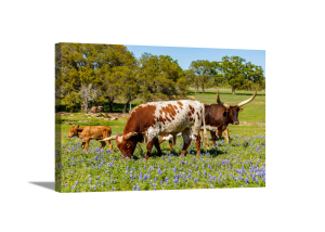 Longhorn Family Grazing Canvas
