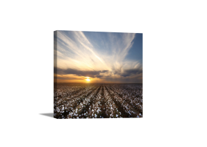 White Fields At Sunset Canvas