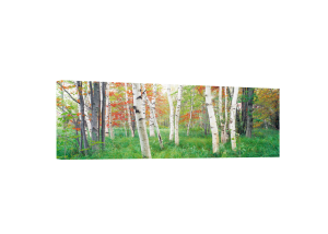 Birch Trees in a Forest Canvas