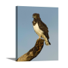 Black-Chested Snake Eagle   1.5 inch gallery wrap